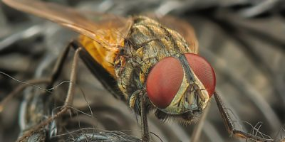 get-rid-of-houseflies