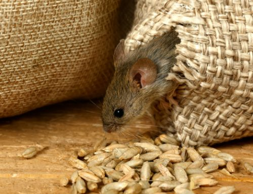 How to Get Rid of Rodents
